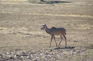 letzte Schritte eines jungen Kudu-Bocks