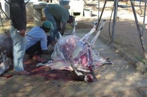 gar nicht so blutig - Oryx ohne Haut