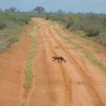 Leopard kreuzt