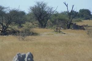 erste Geparden