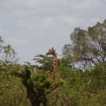 unbeeindruckt davon schleichende Giraffe