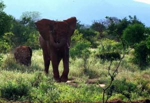 nix wie Weg Elefantenkuh naht